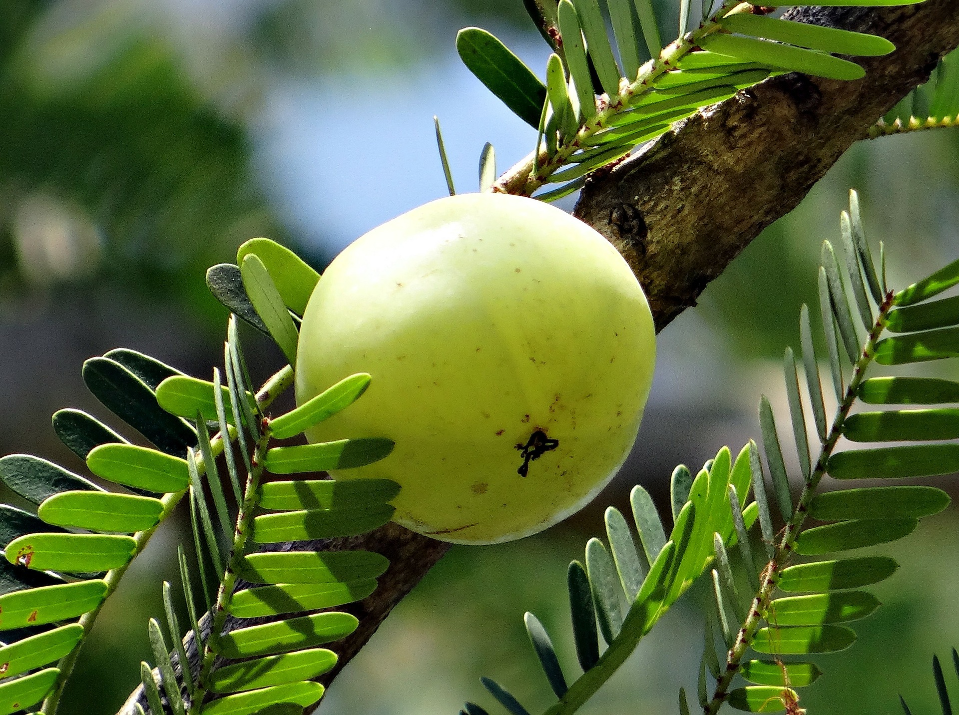 Top 10 superfoods - Amla/Indian Gooseberry